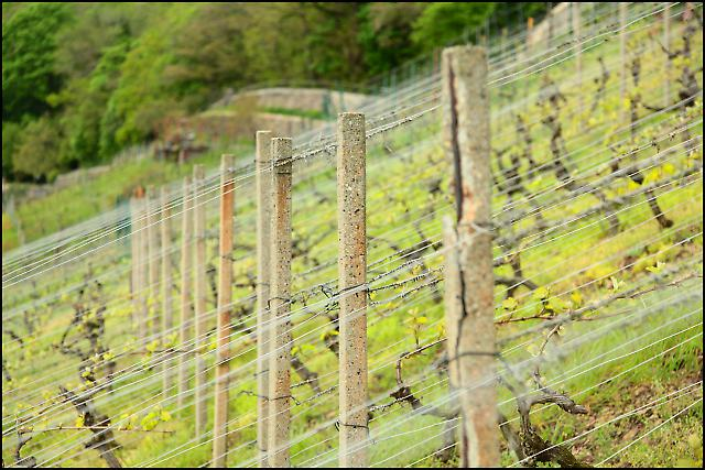 Sachsens Weinanbaugebiet